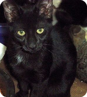 Domestic Shorthair Kitten for adoption in Secaucus, New Jersey - Provolone