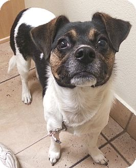 Corgi/Jack Russell Terrier Mix Dog for adoption in Orlando, Florida - Allie
