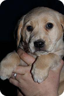 Golden Retriever Mix Puppy for adoption in Hagerstown, Maryland - Carrie Underwood