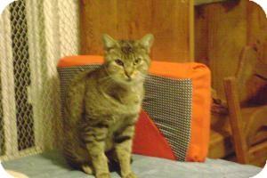 Abyssinian Cat for adoption in Kelso/Longview, Washington - Carla
