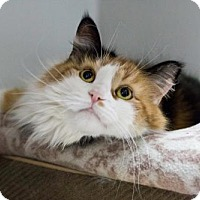 Domestic Longhair Cat for adoption in Orleans, Vermont - Hodge Podge