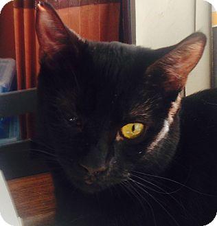 Domestic Shorthair Cat for adoption in Dawson, Georgia - Boo