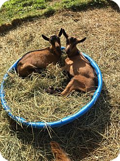 Goat for adoption in Maple Valley, Washington - Rocco & Potter