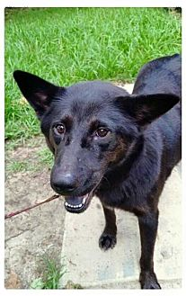 Shepherd (Unknown Type)/Chow Chow Mix Dog for adoption in Mobile, Alabama - Fia