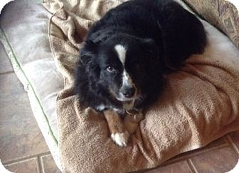 Australian Shepherd Dog for adoption in Minneapolis, Minnesota - Shadow