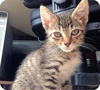 Domestic Shorthair Kitten for adoption in Atlanta, Georgia - Chippie