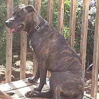 Adopt A Pet :: Ivy - Colorado Springs, CO