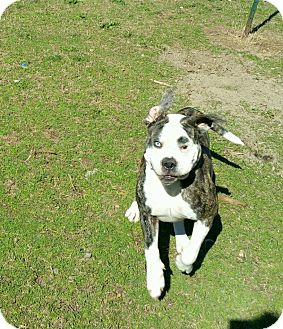 American Bulldog Dog for adoption in Norwood, Georgia - Gumbo