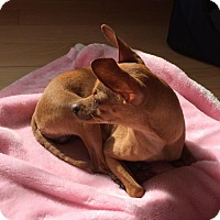 Adopt A Pet :: Bambi - San Jose, CA