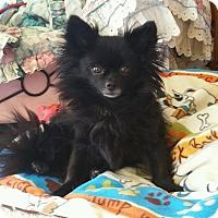 Adopt A Pet :: Chica (DS) - Santa Ana, CA
