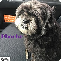 Adopt A Pet :: Phoebe - Adopted May 2017 - Huntsville, ON