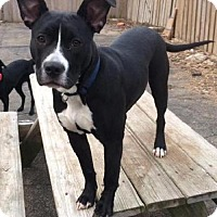 Pit Bull Terrier/Boxer Mix Puppy for adoption in Libertyville, Illinois - Ranger
