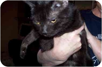 Domestic Shorthair Cat for adoption in Garland, Texas - Lucy (black)