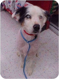 Australian Shepherd Mix Dog for adoption in Mesa, Arizona - Cowboy