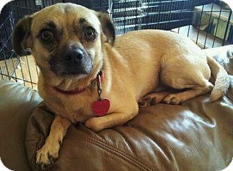 Pug/Chihuahua Mix Dog for adoption in Bardonia, New York - Oliver