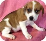 Labrador Retriever Mix Puppy for adoption in Manchester, Connecticut - Olivia ADOPTION PENDING