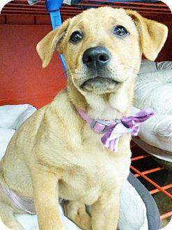Shepherd (Unknown Type)/Husky Mix Puppy for adoption in Detroit, Michigan - Kari-Adopted!