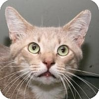Domestic Shorthair Cat for adoption in St. James City, Florida - Scamp