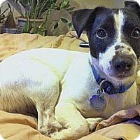 Adopt A Pet :: Pharaoh - Houston, TX