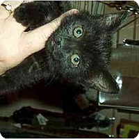 Adopt A Pet :: Misty - Harriman, NY