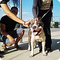 American Pit Bull Terrier/Mastiff Mix Dog for adoption in Brooklyn, New York - Moses