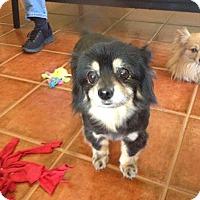 Adopt A Pet :: Beatrice - Gilbert, AZ
