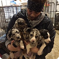 Adopt A Pet :: Puppies - Brazil, IN