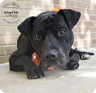 Labrador Retriever/Pit Bull Terrier Mix Dog for adoption in Charlotte, North Carolina - Ludacris