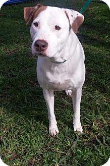 American Bulldog Mix Dog for adoption in Miami, Florida - S/C Yhela
