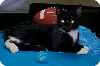 Domestic Shorthair Kitten for adoption in Albemarle, North Carolina - Warren Harding