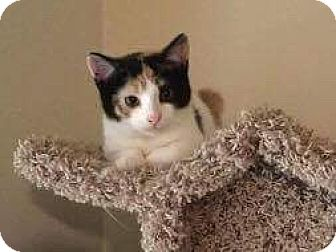 Domestic Shorthair Kitten for adoption in Mount Laurel, New Jersey - Gemma