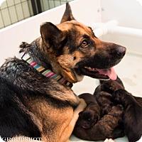 Adopt A Pet :: Shawna - Phoenix, AZ