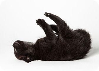 Domestic Shorthair Kitten for adoption in Rockaway, New Jersey - Roxy