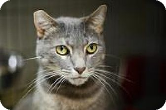Domestic Mediumhair Cat for adoption in New Orleans, Louisiana - Ramses