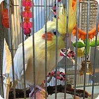 Adopt A Pet :: Pretty Birdy - Punta Gorda, FL