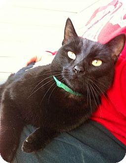 Domestic Shorthair Cat for adoption in Decatur, Georgia - Binks *Bright-Eyed Buddy*
