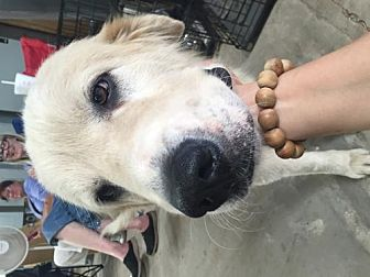Great Pyrenees Dog for adoption in Norman, Oklahoma - Kim