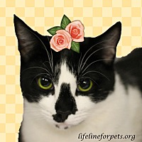 Domestic Shorthair Cat for adoption in Monrovia, California - A Young Female: NIWA