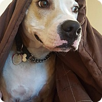 Adopt A Pet :: Bo - Gettysburg, PA