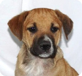 Boxer/Rhodesian Ridgeback Mix Puppy for adoption in Westport, Connecticut - *Tiger - PENDING