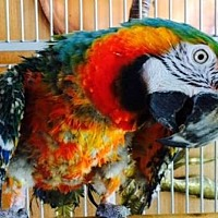 Macaw for adoption in Tampa, Florida - Fuzzy