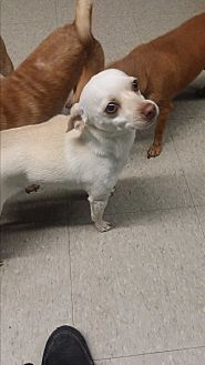 Chihuahua/Rat Terrier Mix Dog for adoption in Pflugerville, Texas - Ivy