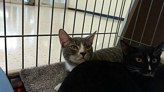 Domestic Shorthair Cat for adoption in Land O Lakes, Florida - Lorenzo