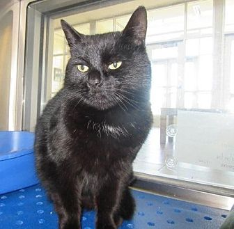 Domestic Shorthair Cat for adoption in Ft. Lauderdale, Florida - Cocoa