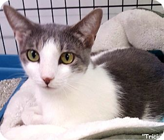 Domestic Shorthair Cat for adoption in Key Largo, Florida - Tricia