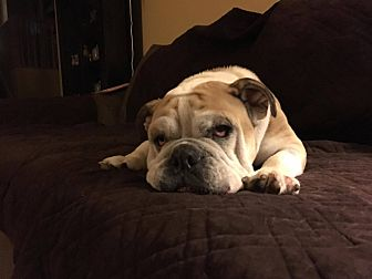 Bulldog Dog for adoption in Decatur, Illinois - Quigley