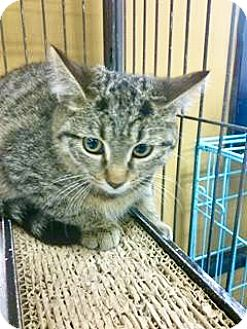 Domestic Shorthair Kitten for adoption in Hamilton, Ontario - Kango