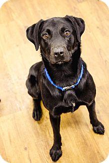 Labrador Retriever Mix Dog for adoption in Lake Odessa, Michigan - Ebonee