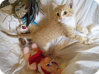 Domestic Shorthair Kitten for adoption in Geneseo, Illinois - Atlas