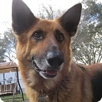 Adopt A Pet :: Ginger - Green Cove Springs, FL